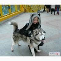 Шапка-лапка(зверошапка) хаски в Санкт-Петербурге
